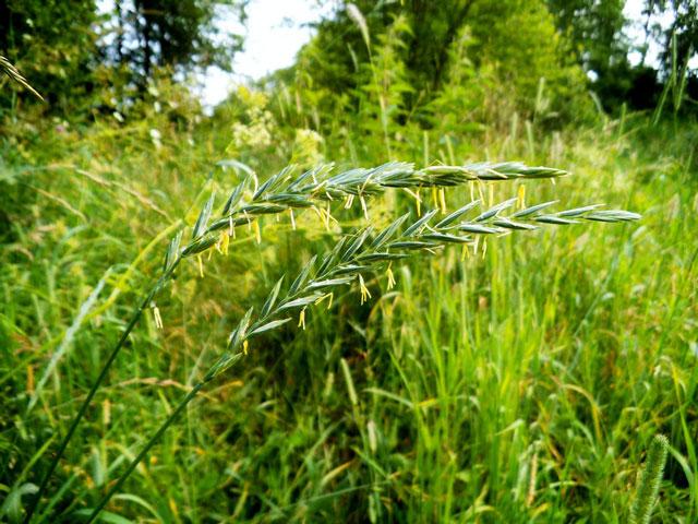 Трава пырей есть в каждом огороде, этот сорняк неистребим, хотя является лечебным растением благодаря своим целебным свойствам, корень пырея на фото