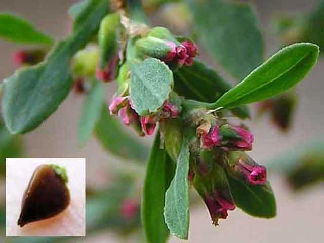 Трава спорыш (горец птичий) распространена повсеместно как сорняк. Спорыш имеет лечебные свойства и применяется в медицине. Спорыш противопоказания. Фото