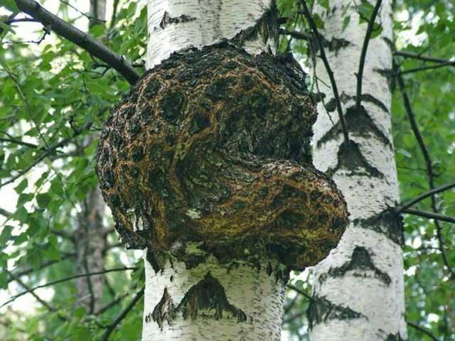 Какие полезные свойства у березового гриба чага? Применение чаги, противопоказания, где ее найти и фото