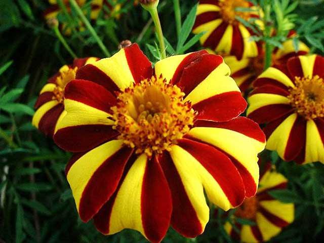 Как выращивать цветы бархатцы? Какой за ними нужен уход? Как правильно провести посадку бархатцев? Выращивание из семян. Бархатцы фото