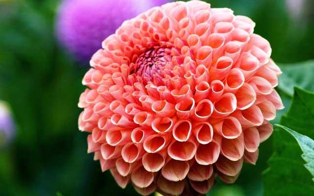 В чем преимущества выращивания цветов однолетних георгин? Как проводить посадку семян георгин и какой нужен уход за георгинами? Георгины красивые фото