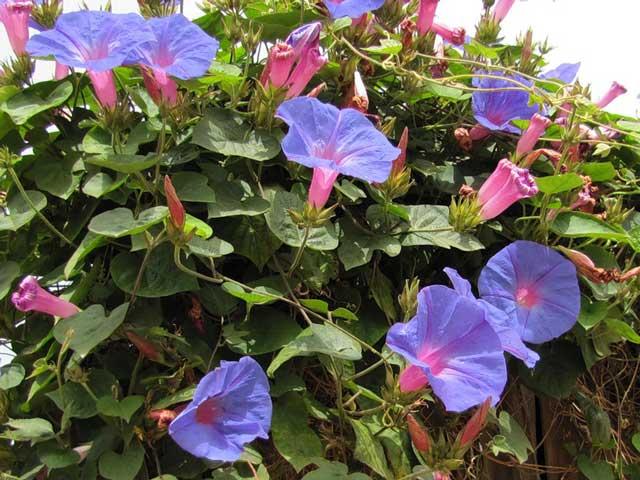 Как провести посадку ипомеи, какой она требует уход. Однолетняя ипомея посев семян и размножение. Ипомея красивые фото цветов