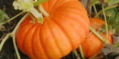 Тыква обладает многими полезными свойствами, тыкву легко можно сохранять длительное время, приготовление различных блюд из тыквы и семян, тыква фото