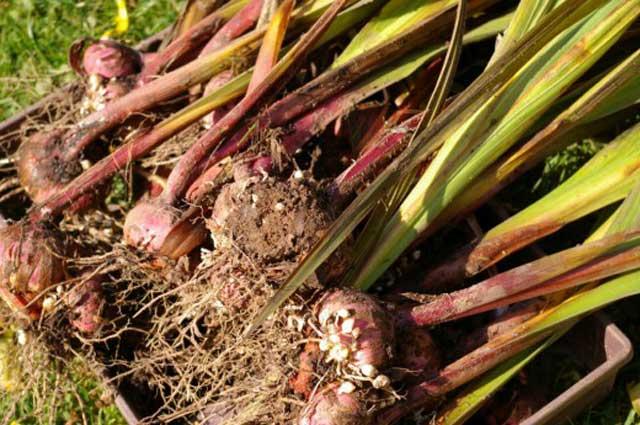 Осенняя уборка и просушка луковиц гладиолусов. Фото