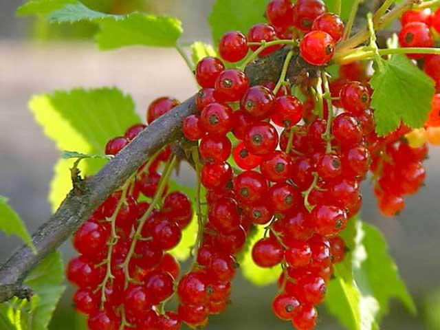 Красная смородина фото. Красная смородина полезные свойства
