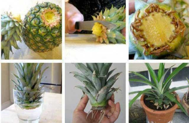 Красивые фото ананаса. Как вырастить ананас в домашних условиях из хохолка? Как выбрать ананас в магазине для посадки дома?