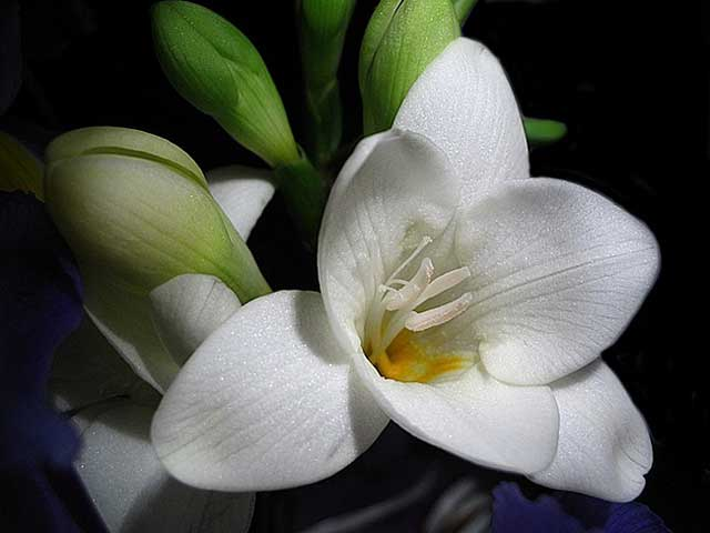 Фрезия фото. Фрезия уход, посадка, выращивание в открытом грунте. Фрезия белая