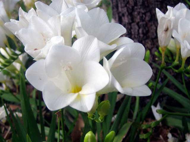 Фрезия фото. Фрезия уход, посадка, выращивание в открытом грунте. Белая фрезия
