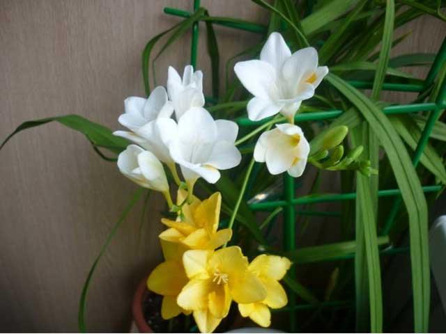 Фрезия фото. Фрезия уход, посадка, выращивание в открытом грунте. Фрезия в домашних условиях