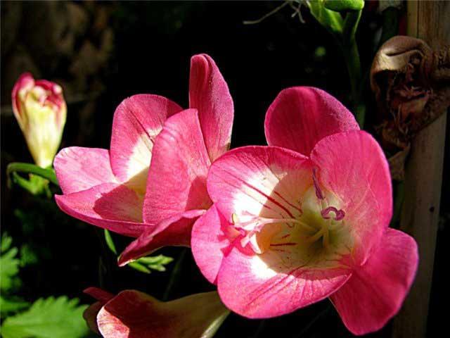Фрезия фото. Фрезия уход, посадка, выращивание в открытом грунте. Фрезия розовая