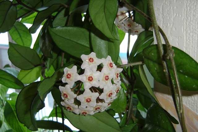 Хойя фото, какой нужен уход и как выращивать эту красавицу в домашних условиях? Растение хойя не прихотлива к выращиванию в домашних условиях...