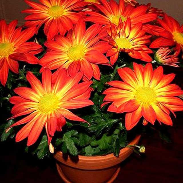 Хризантемы фото, как цветы хризантемы выращивать в домашних условиях, посадка хризантемы в горшках, сорта хризантемы для дома