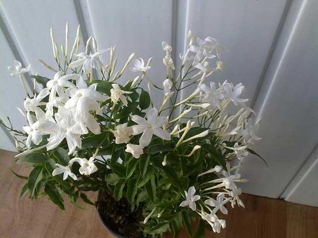 жасмин выращивание в домашних условиях