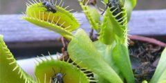 Довольно интересным является и история происхождения названия венерина мухоловка. В дословном переводе растение должно называться в честь греческой богини любви