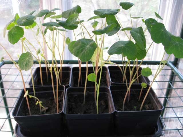 Как вырастить цветок настурцию в открытом грунте? Почва для настурции, посадка семенами и рассадой. Настурция фото цветов