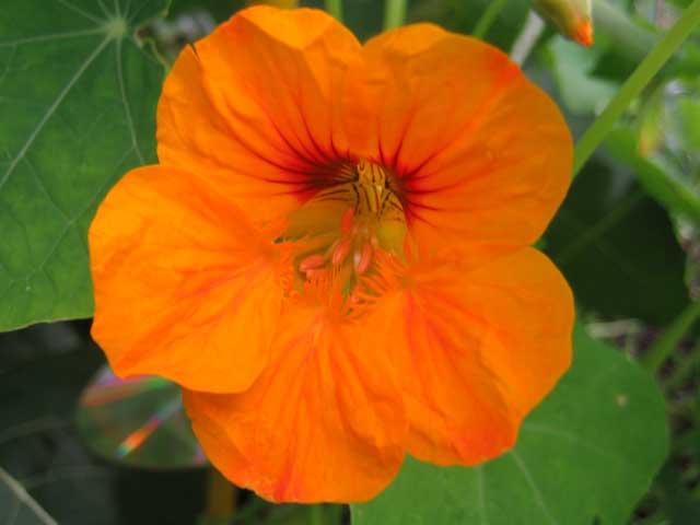 Настурция фото. Цветок настурция выращивание семенами, рассадой