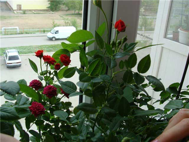 роза кустовая к комнатная уход в домашних условиях