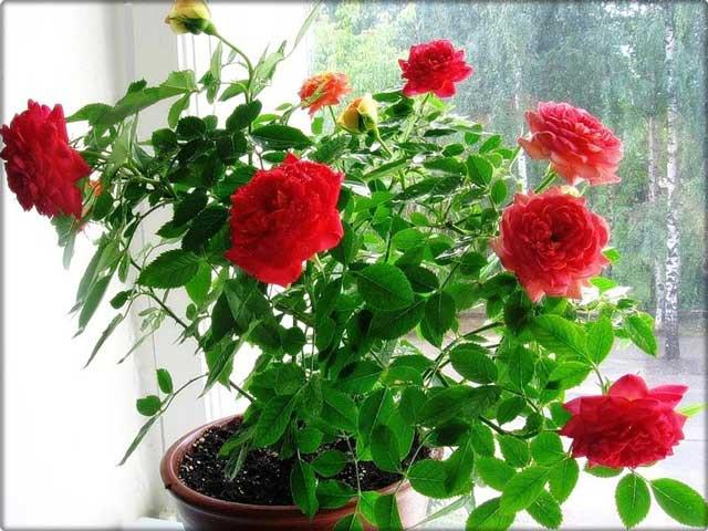 фото черенками комнатная размножения роза
