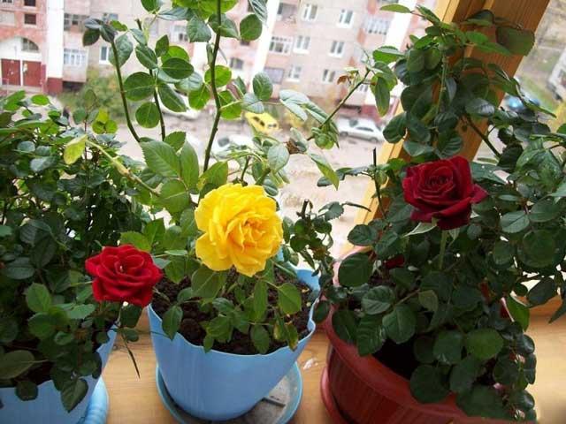 Комнатная роза фото. Уход за комнатной розой в домашних условиях