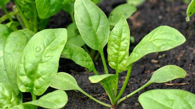 Какая польза от шпината спросите Вы? Что такого удивительного в этой невзрачной травке? Полезных свойств у шпината большое количество. Шпинат фото