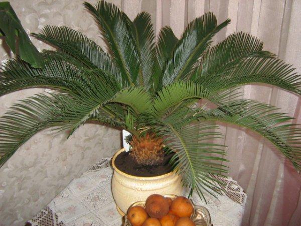 Как ухаживать дома за цикасом? Цикас выращиваем в домашних условиях, размножение, пересадка, подкормка цикаса. Красивые фото пальмы