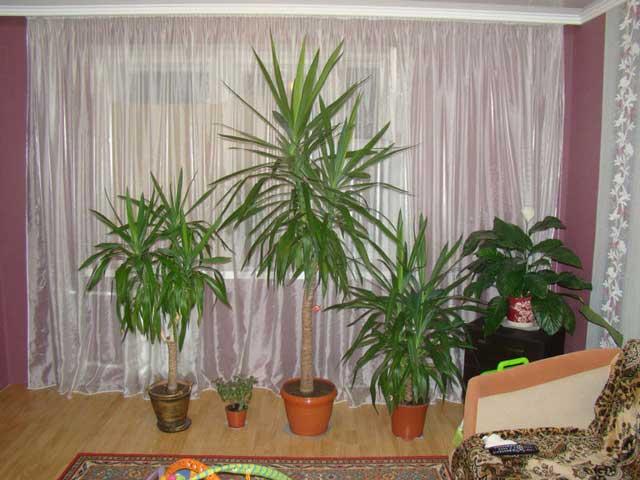 Выращиваем в домашних условиях цветок юкка. Юкка фото