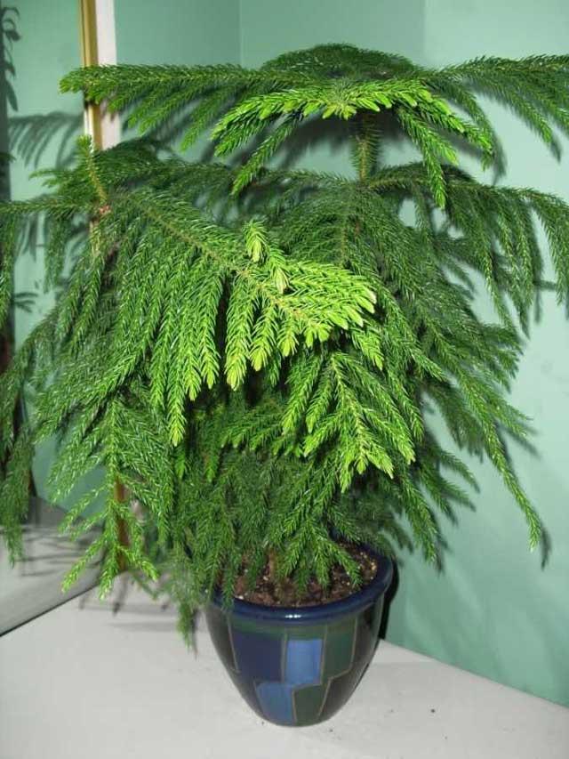 Араукария - домашняя ель, принесет Вам в дом чистый воздух и прохладу леса. Вырастить ее можно в домашних условиях при соответствующем уходе. Араукария фото