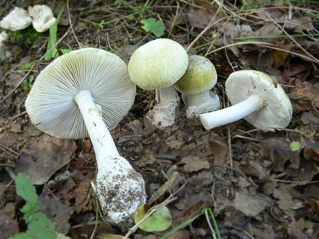 Бледная поганка фото, описание, симптомы отравления грибом