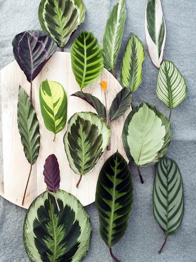 Калатея часто встречается в наших квартирах, для выращивания калатеи в домашних условиях требуется тщательный уход, фото домашних калатей фото
