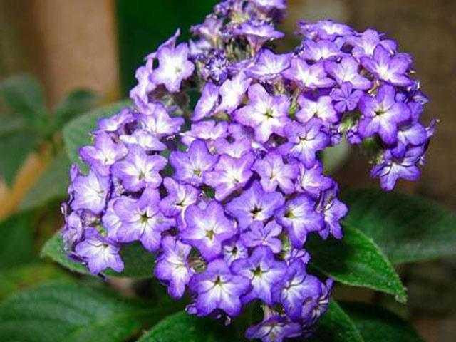 Гелиотроп цветок выращивание - пошаговое руководство