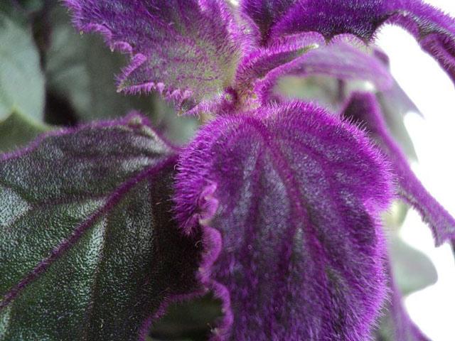 Цветок гинура фото, уход в домашних условиях, размножение