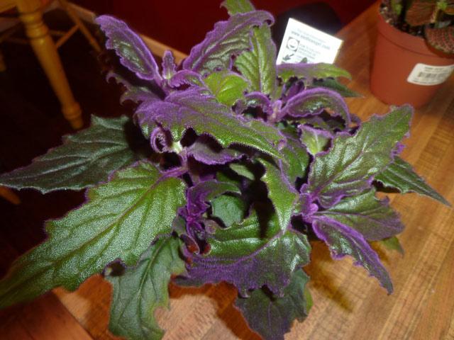 Что такое комнатное растение гинура и какой уход нужен для выращивания в домашних условиях? Размножение цветка гинура, гинура красивые фото