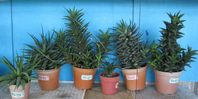 Хавортия - довольно неприхотливое растение для домашнего выращивания и не требует особого ухода, есть много видов для дома. Хавортия фото