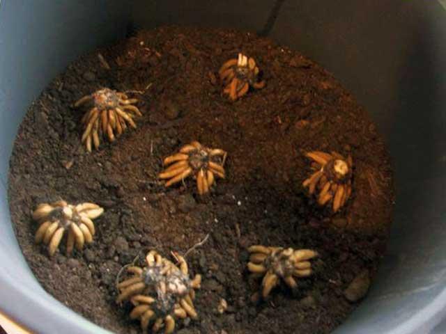 Ранункулюс фото, клубни высаживаем в заранее подготовленный грунт