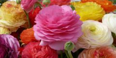 Ранункулюс фото, размножение, посадка, уход за цветами