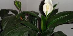 Уход за спатифиллумом (женское счастье) в домашних условиях. Фото