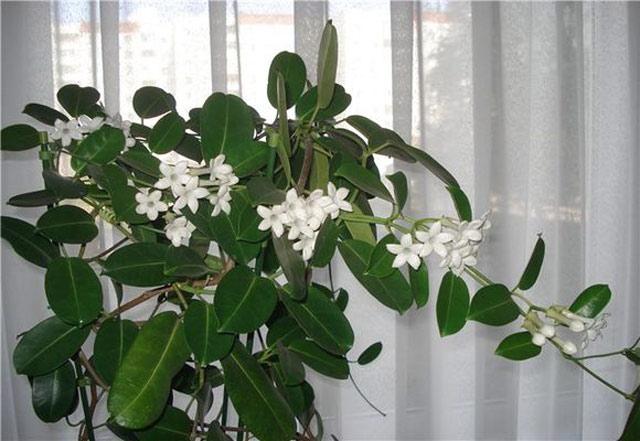 Стефанотис  уход в домашних условиях, цветок фото