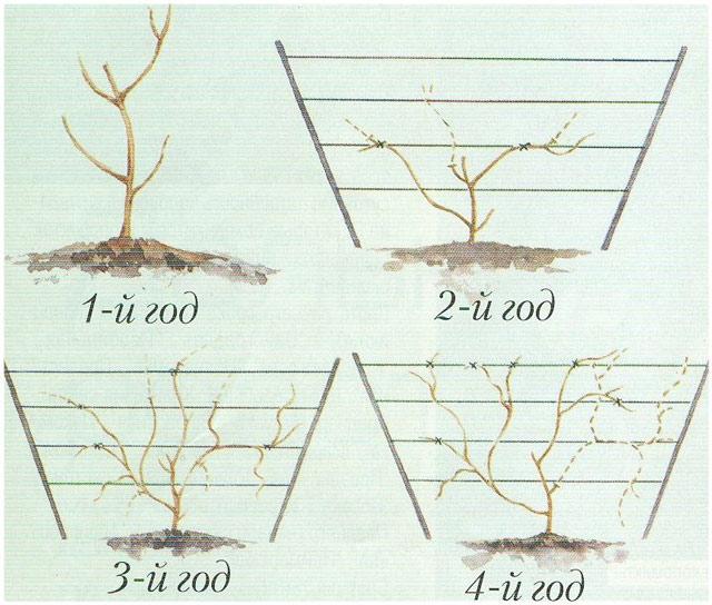 В статье рассказано как посадить актинидию, какой за актинидией нужен уход. Актинидия фото цветов, фото обрезки актинидии