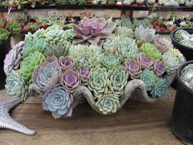 Неприхотливый цветок эхеверия порадует вас своим неповторимым видом когда наступит зима, уход в домашних условиях. Эхеверия фото