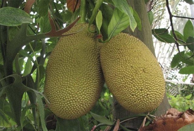 Фото удивительных растений.  Хлебное дерево