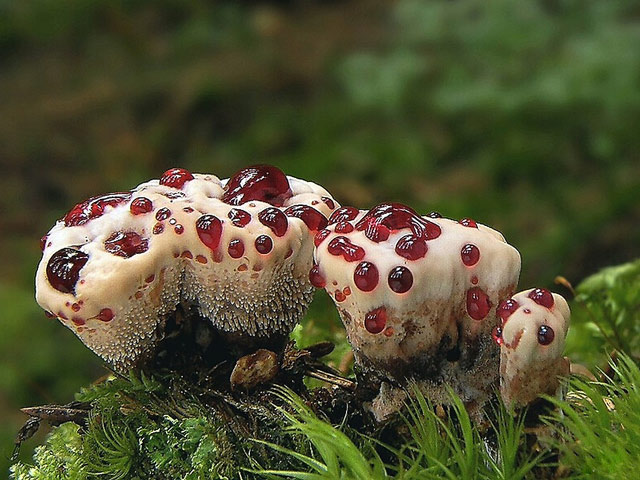 Фото удивительных растений. Кровавый зуб