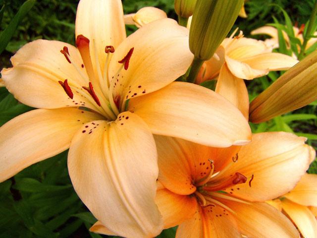 Лилии фото. Посадка лилиии весной и осенью, особенности