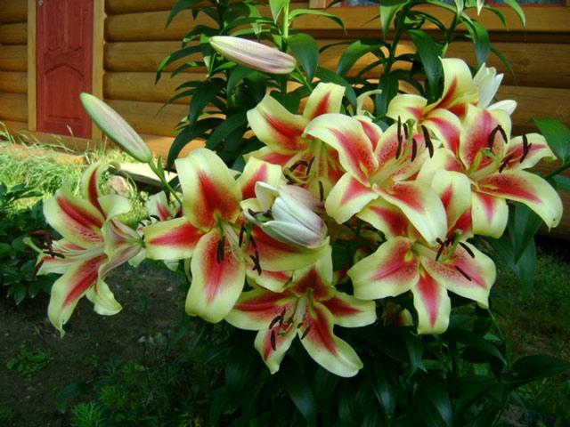 Красивые фото лилии. Чем отличается весенняя посадка лилии, от её посадки осенью. Применение лилии в на дачном участке. Особенности ухода