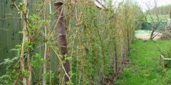 Малина описание и фото. Основы выращивания и ухода