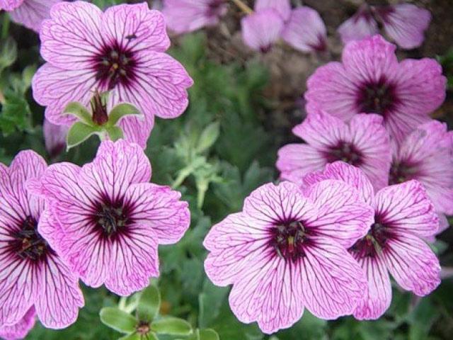Герань садовая выращивание и уход, описание, размножение и фото