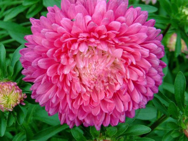 Астры красивые фото цветов. В статье приведено описание астр, как их сажать, чем размножаются, как ухаживать за астрами и какие болезни у них бывают