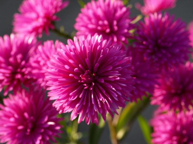 Астры фото цветов, описание, посадка, размножение и уход