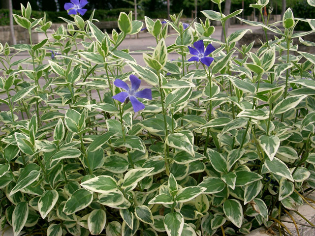 Барвинок фото растения, посадка и уход, размножение и вредители