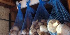 Хранение и сбор чеснока и лука. Как это делать правильно?