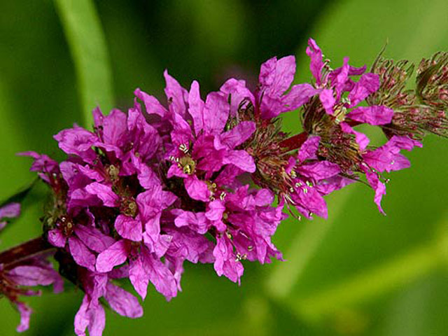 Дербенник фото (плакун-трава) выращивание, посадка, описание